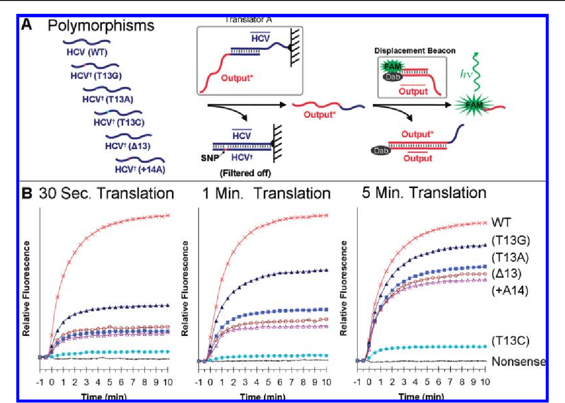 hight resolution of solid phase translation of hcv single nucleotide polymorphisms snps