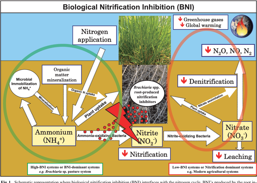 medium resolution of schematic representation where biological nitrification inhibition bni interfaces with the