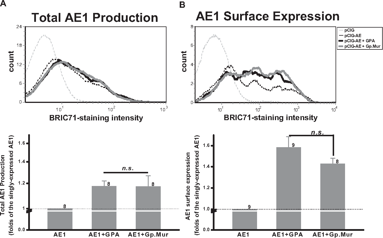 hight resolution of gp mur exhibited similar functionality as gpa in promoting ae1 expression