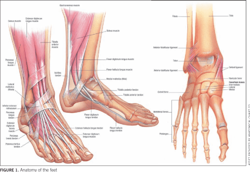 small resolution of anatomy of the feet