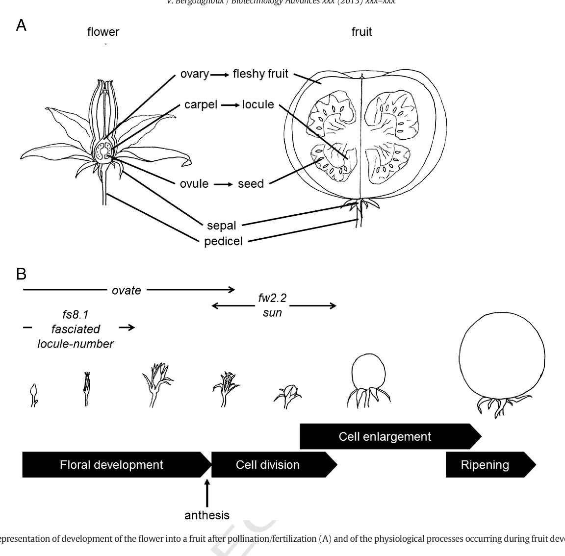 hight resolution of schematic representation of development of the flower into a fruit after pollination