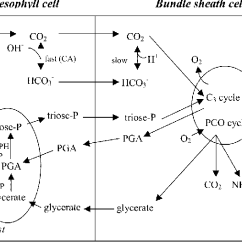 Mesophyll Cell Diagram Mitsubishi Pajero Electrical Wiring Figure 1 From Bundle Sheath Diffusive Resistance To Co 2 And Schematic Representation Of The Movement Gases Metabolites In Pepc Mutant