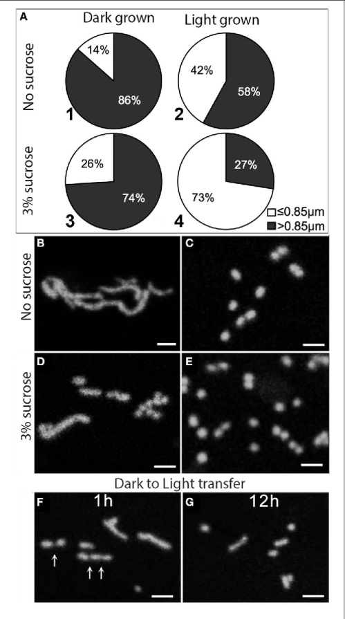 small resolution of figure 1 effects of light dark and sugar on mitochondria length a