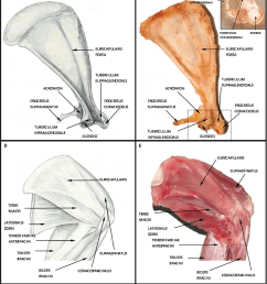 a and b schematic drawing and image representing anterior rabbit scapula with [ 1102 x 1242 Pixel ]