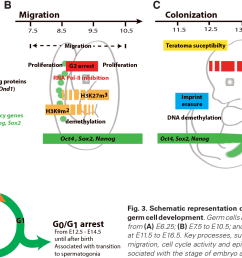 schematic representation of events during early mouse male germ cell development  [ 1466 x 798 Pixel ]