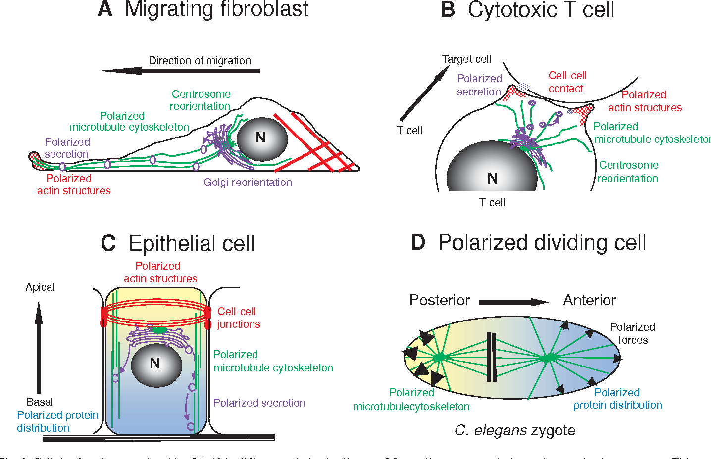 Figure 3 From Cdc42 The Centre Of Polarity