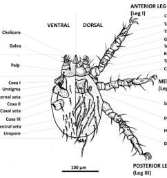 figure 1 1 from molecular ecology of chigger mites acari acari order diagram [ 1070 x 876 Pixel ]