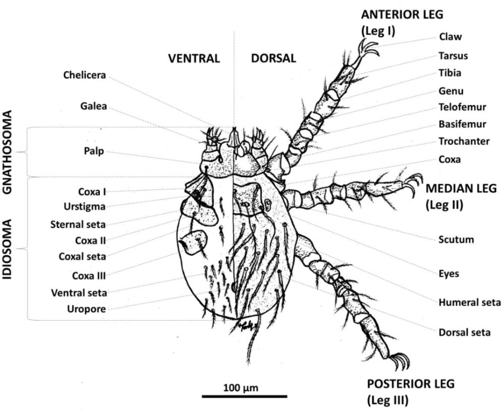 medium resolution of figure 1 1 from molecular ecology of chigger mites acari acari order diagram