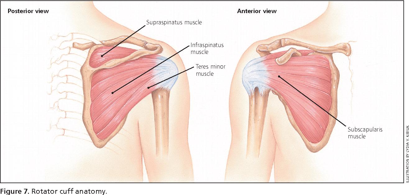 hight resolution of rotator cuff anatomy