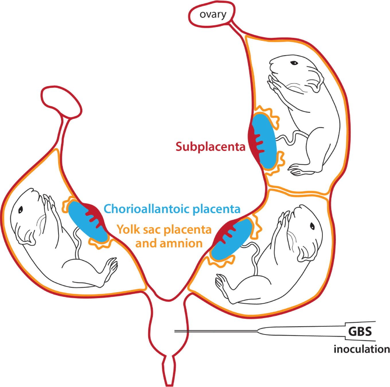 hight resolution of schematic representation of the bicornuate guinea pig uterus with fetal sacs in each