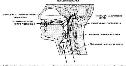 small resolution of distribution of sensory receptors in pharynx and larynx and their connection via