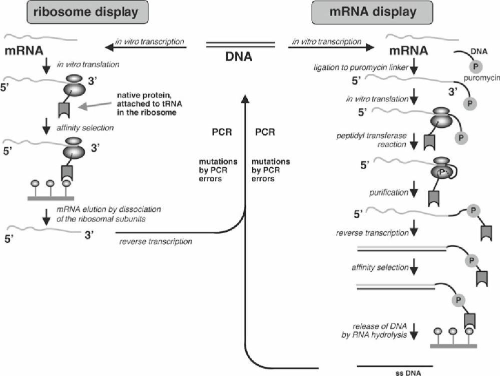 medium resolution of comparison of ribosome display left and mrna display right