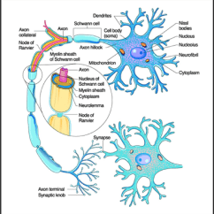 Detailed Neuron Diagram Chrysler 2 4 Belt Figure 1 From Neurotracker 0 Improved Software For Neural A Of Structure 2008
