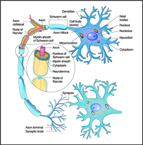 small resolution of figure 1 a detailed diagram of neuron structure neuron 2008