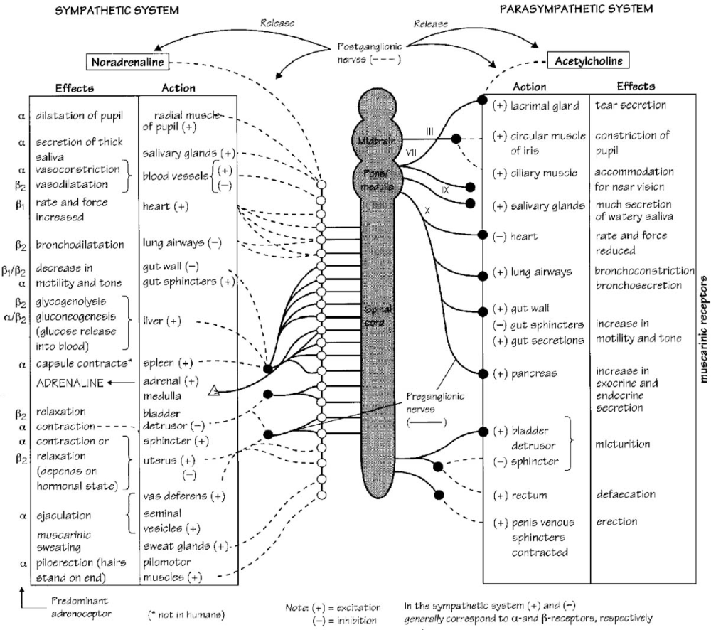 medium resolution of autonomic nervous system reprinted with permission from neal mj medical pharmacology