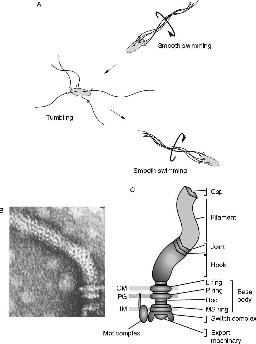 medium resolution of figure 2 1 a behaviorof bacterial cells b electronmicrographof flagella isolated from