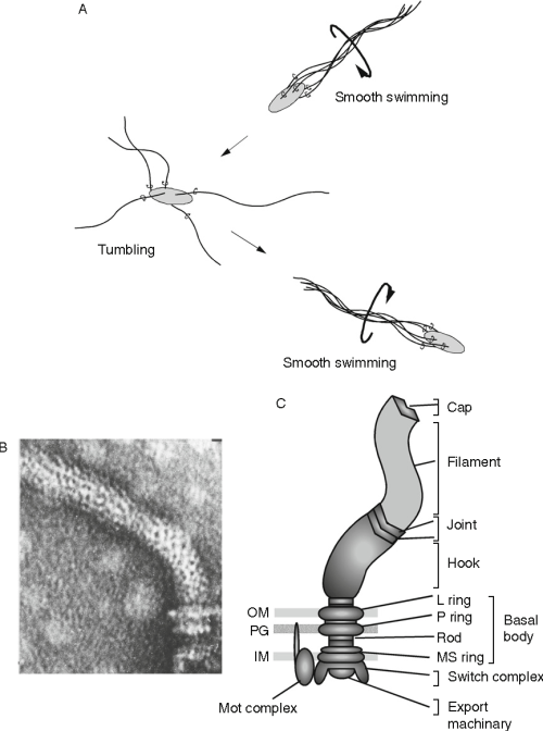 small resolution of figure 2 1 a behaviorof bacterial cells b electronmicrographof flagella isolated from