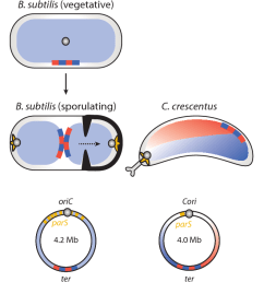 figure 1 chromosome organization schematic of nucleoid organization in the indicated bacteria mutation  [ 1238 x 704 Pixel ]