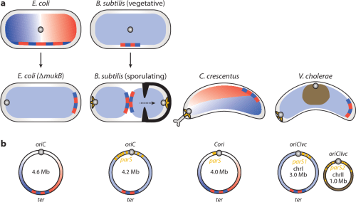 small resolution of figure 1 chromosome organization schematic of nucleoid organization in the indicated bacteria mutation