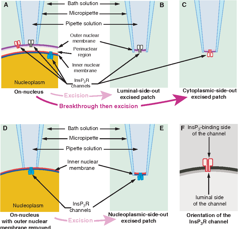 hight resolution of schematic diagram illustrating the orientation of insp3r channels in isolated nuclear membrane patches