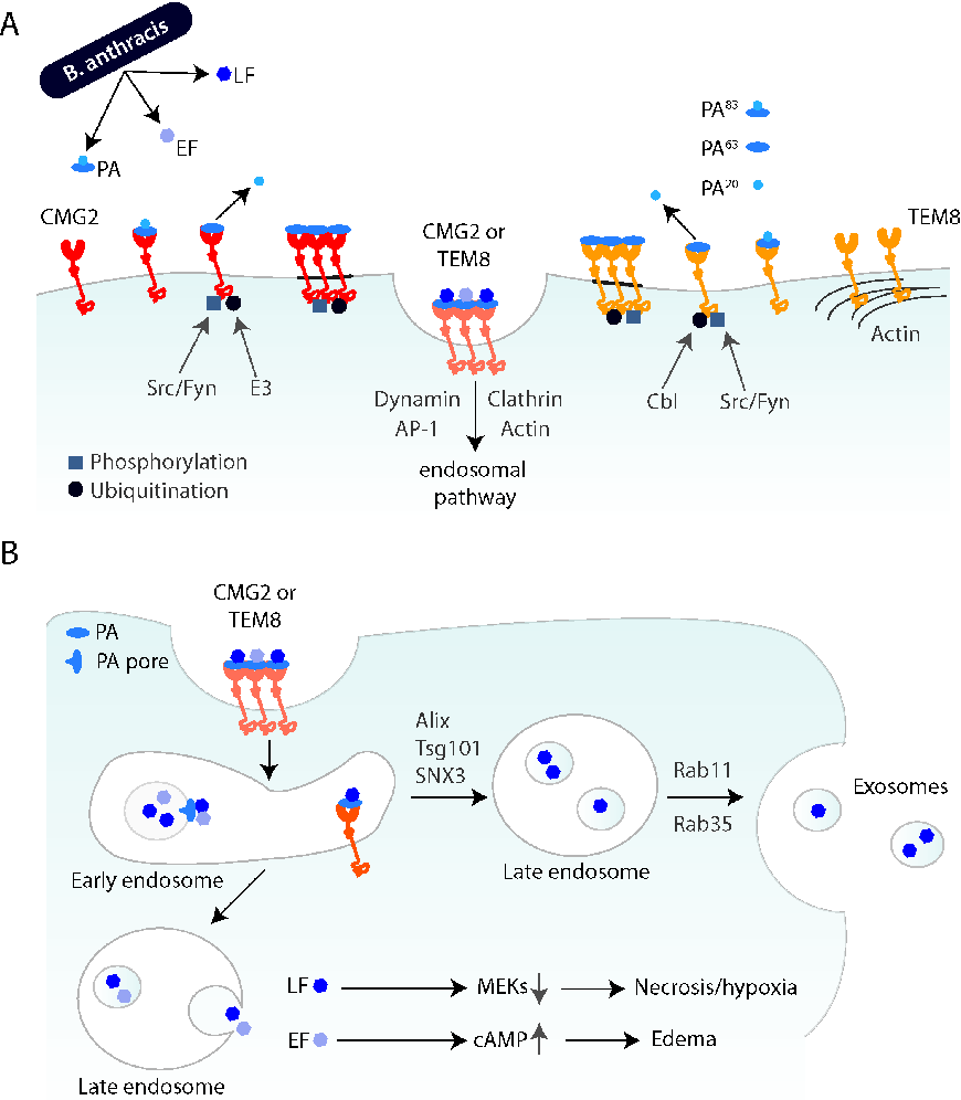 hight resolution of schematic overview of cellular entry of anthrax toxin and progression through the endocytic
