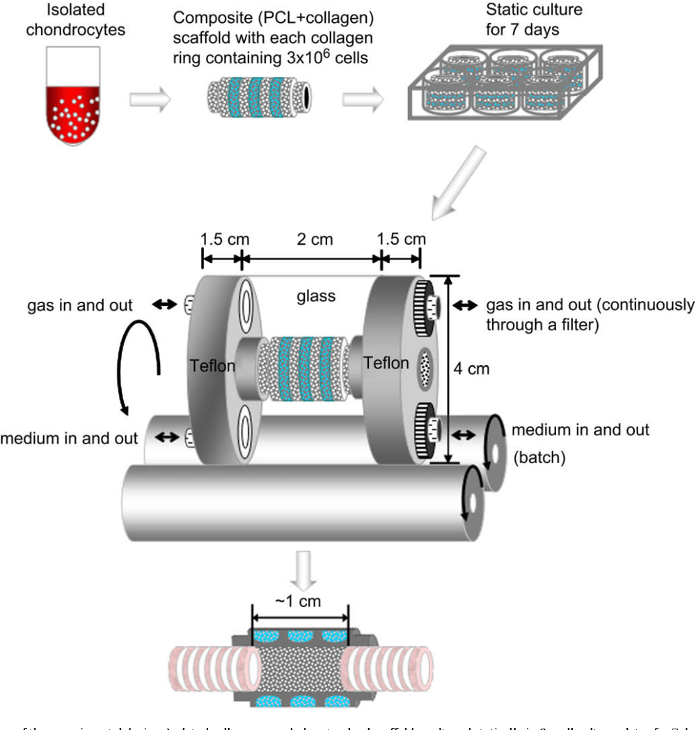 medium resolution of a schematic diagram of the experimental design isolated cells were seeded
