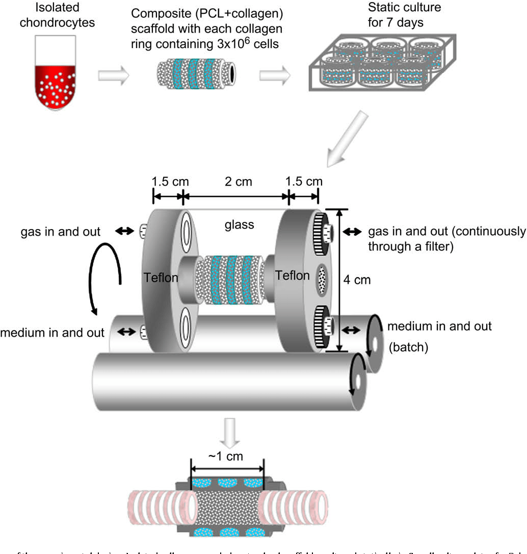 hight resolution of a schematic diagram of the experimental design isolated cells were seeded