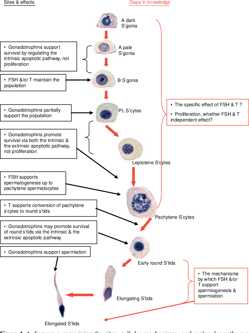 medium resolution of figure 4 a diagram summarizing the sites cellular mechanisms and molecular pathways underpinning gonadotrophin