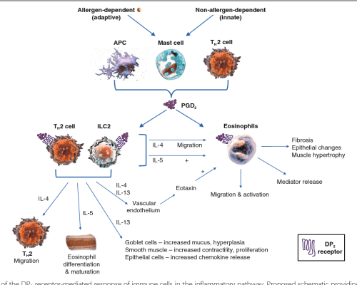 small resolution of fig 1 overview of the dp2 receptor mediated response of immune cells in the