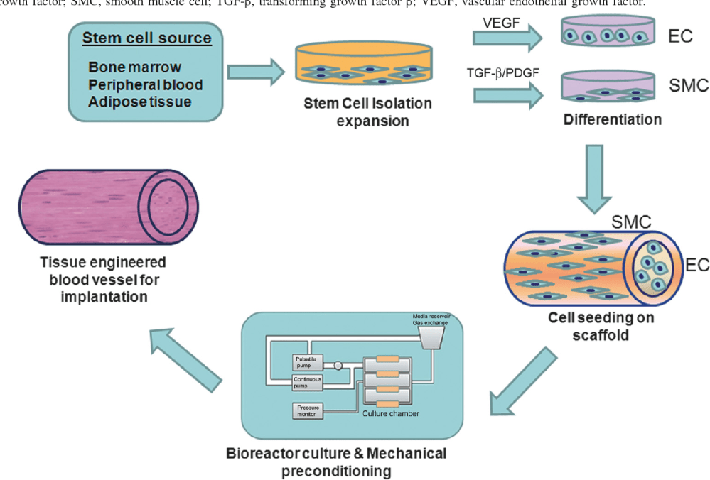 medium resolution of schematic diagram showing stem cell based approach in vascular tissue engineering