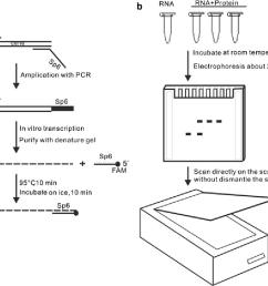 2 schematic diagram of fluorescent labeled rna emsa a preparation of rna probe [ 1020 x 844 Pixel ]