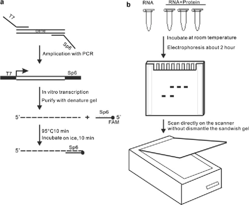 small resolution of 2 schematic diagram of fluorescent labeled rna emsa a preparation of rna probe