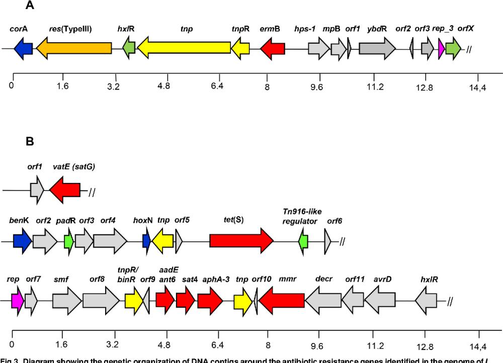 medium resolution of diagram showing the genetic organization of dna contigs around the antibiotic resistance genes