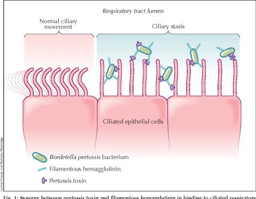 small resolution of 1 synergy between pertussis toxin and filamentous hemagglutinin in binding to ciliated respiratory