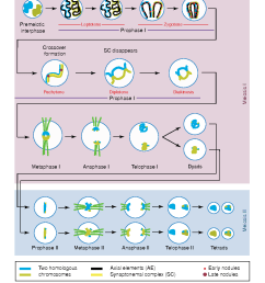 diagram showing the stages and main events in meiosis only one pair [ 996 x 1270 Pixel ]