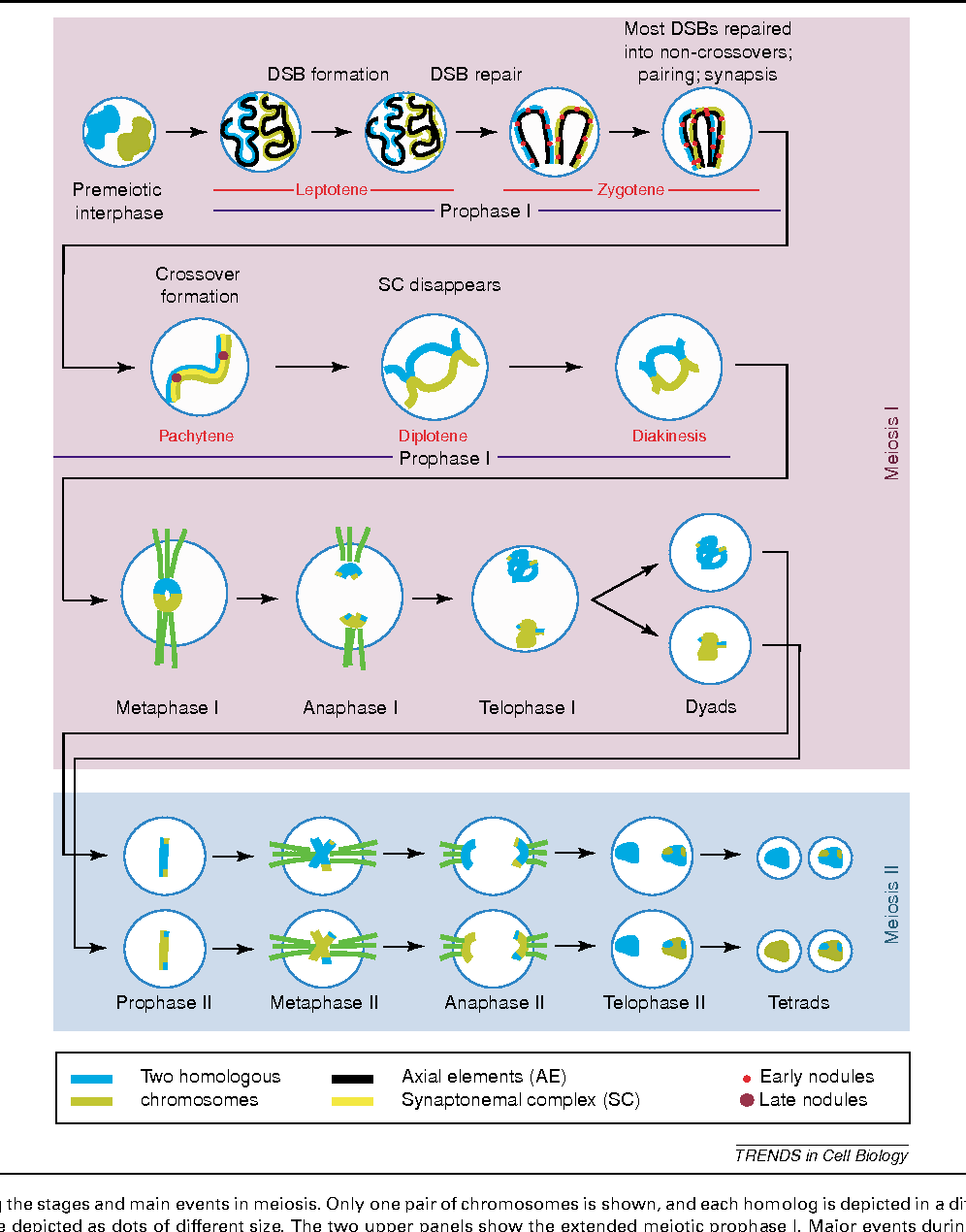 hight resolution of diagram showing the stages and main events in meiosis only one pair