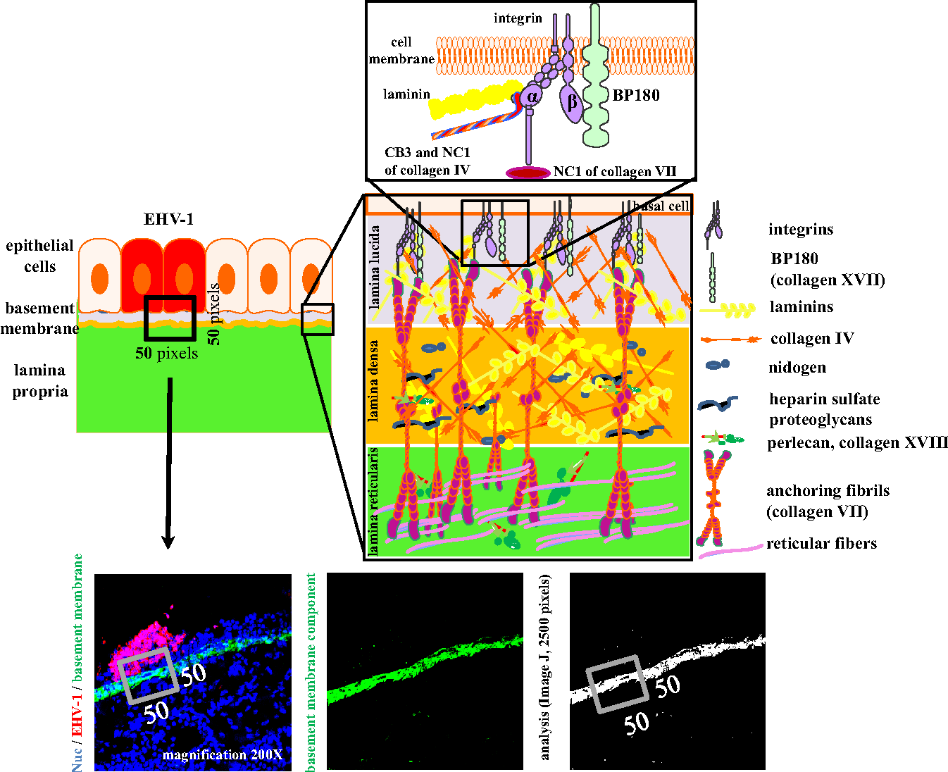 hight resolution of 1 schematic overview of the nasal mucosal basement membrane with its main components