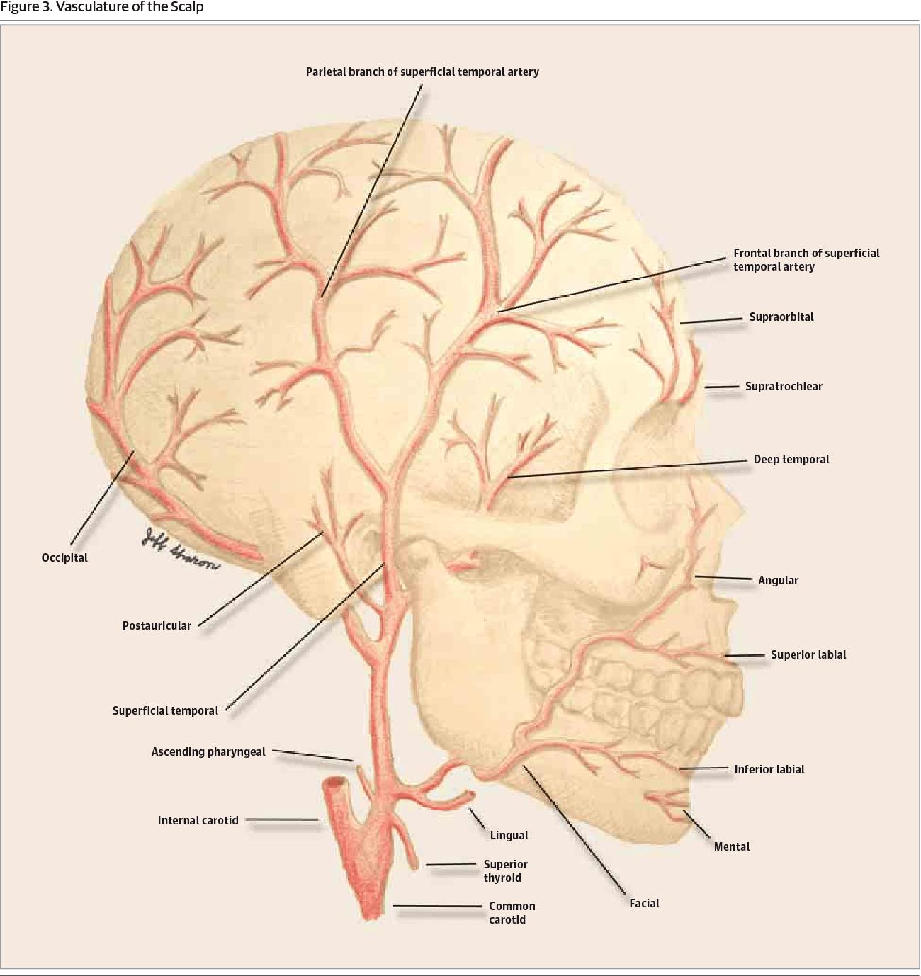 hight resolution of vasculature of the scalp