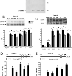 activation of markers of er stress in pancreatic cancer cells by dim [ 1000 x 1446 Pixel ]