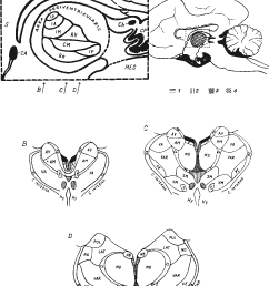 diagram of the topographical relations of the mid line thalamic [ 968 x 1266 Pixel ]