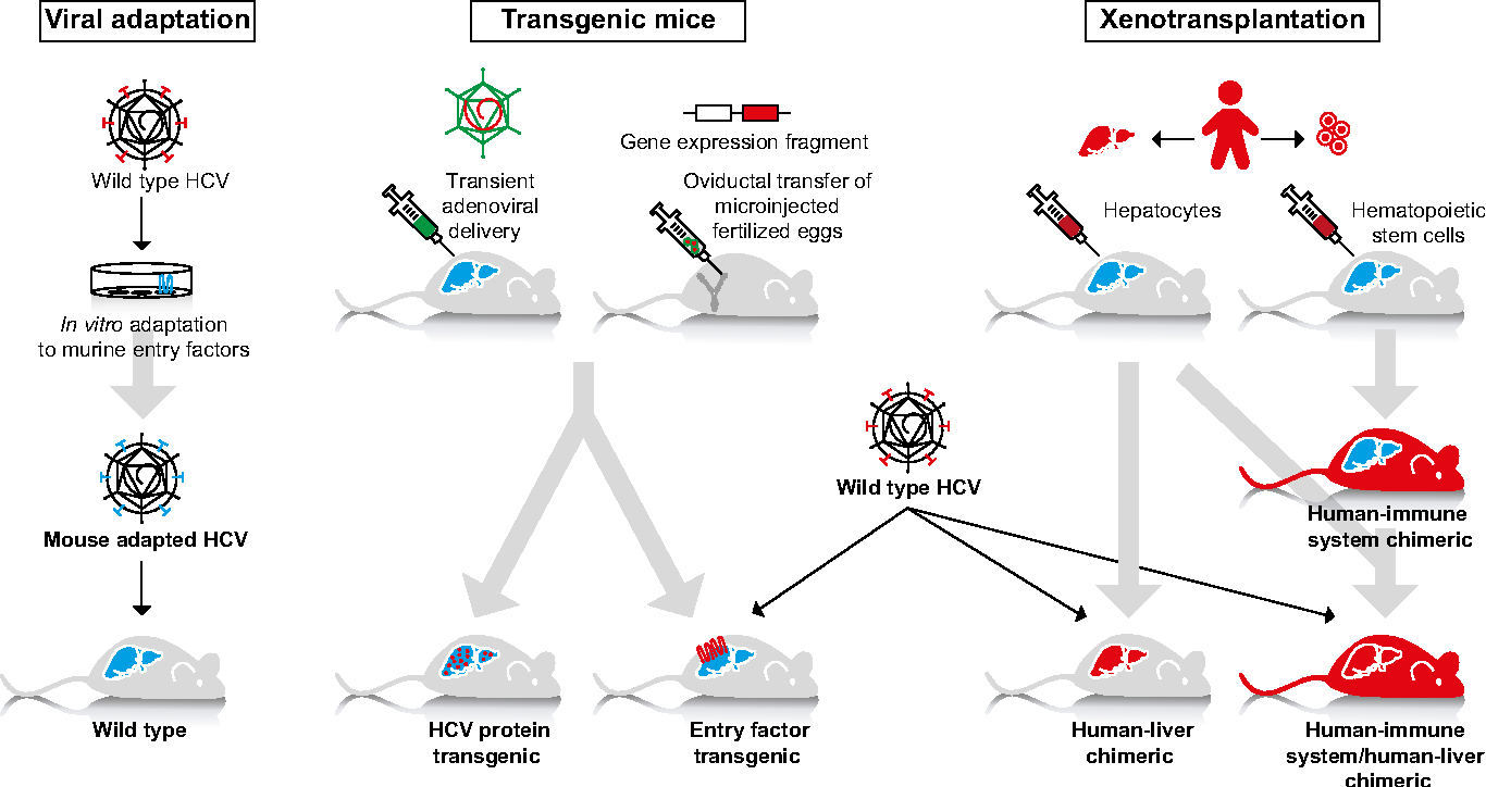 liver panel diagram wiring for tow bar electrics figure 1 from hcv animal models and disease semantic scholar fig different approaches to create mouse the study of