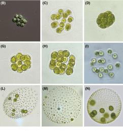 fig 1 examples of volvocine species a chlamydomonas reinhardtii b [ 1332 x 822 Pixel ]