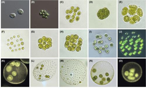 small resolution of fig 1 examples of volvocine species a chlamydomonas reinhardtii b