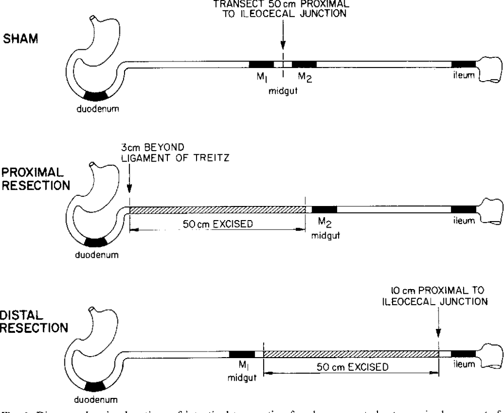medium resolution of diagram showing locations of intestinal transection for sham operated rats excised