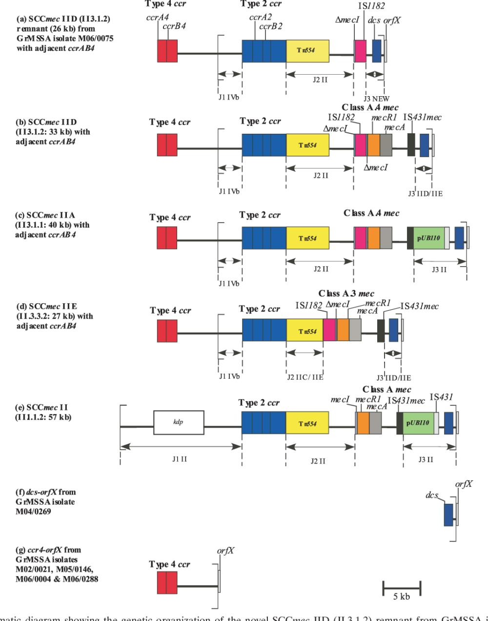 medium resolution of schematic diagram showing the genetic organization of the novel sccmec iid