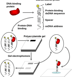 a surface addressable dna array sada for the analysis of protein [ 1286 x 1418 Pixel ]