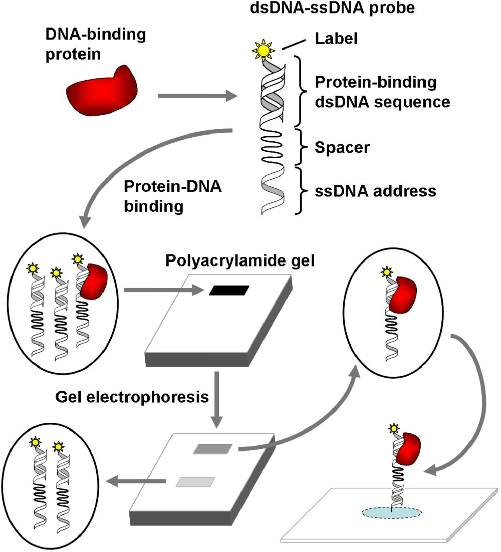 medium resolution of a surface addressable dna array sada for the analysis of protein