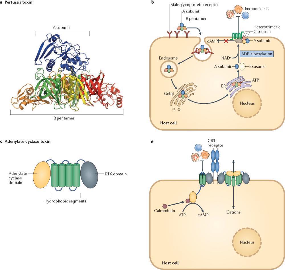 medium resolution of bordetella pertussis pathogenesis current and future challengesdiagram bordetella pertussis 19