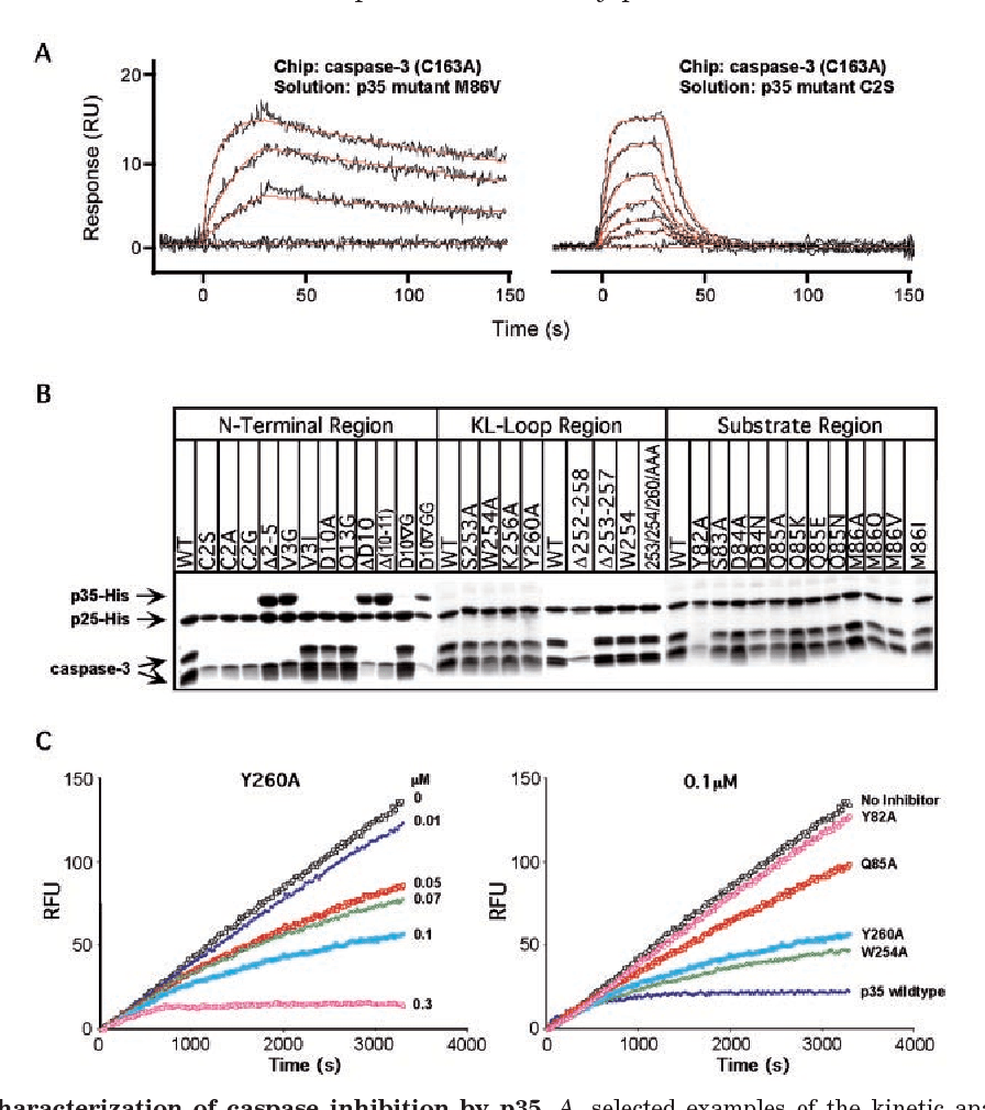 hight resolution of biochemical characterization of caspase inhibition by p35 a selected examples