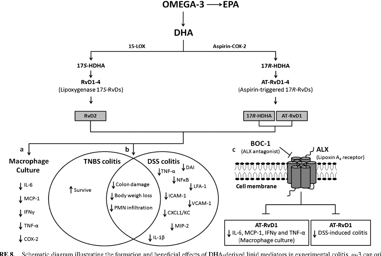 hight resolution of schematic diagram illustrating the formation and beneficial effects of dha derived lipid